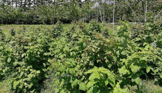 北海道、余市産のラズベリー収穫中!当園自家製ジャムもご紹介