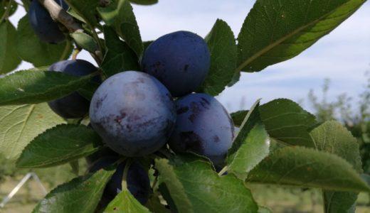 北海道、余市名産のプルーンも【アーリーリバー】から収穫開始、通販や直売店に出荷中❕