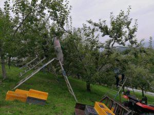 サンプルーン収穫