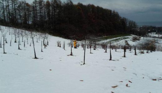 ハスカップ、ラズベリーの冬囲い作業と時々そり滑り
