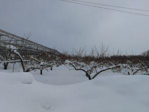 桃の木 画像
