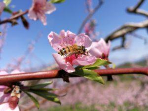 桃の蜜を集めるミツバチ