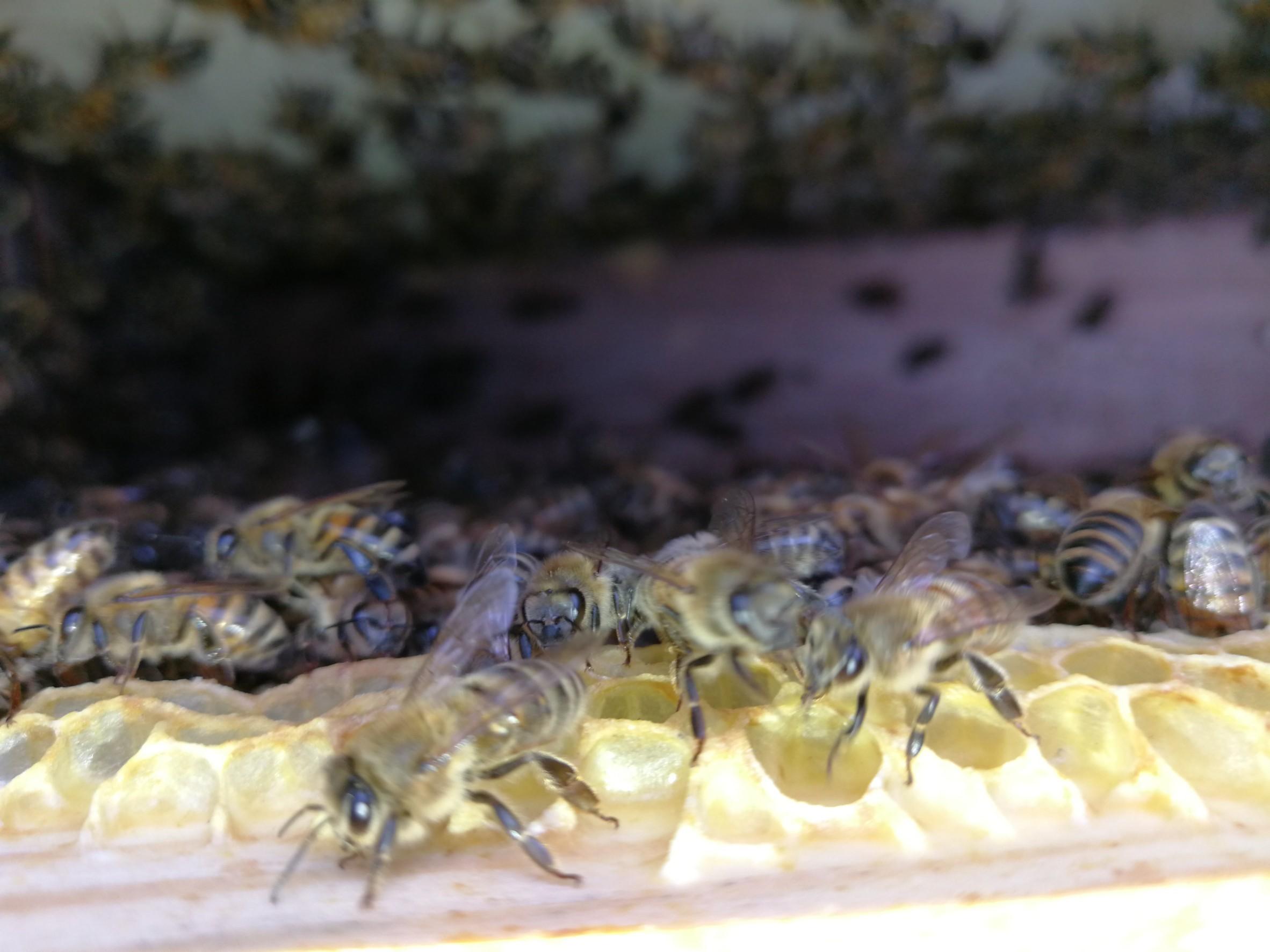 ミツバチの巣箱の中