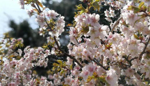 余市町の桜が満開の中、さくらんぼの花がいよいよ開花