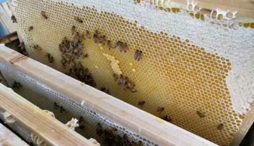 アカシア蜜を採るために、巣箱の蜜を絞り 雨よけハウス掛けも始まっています。