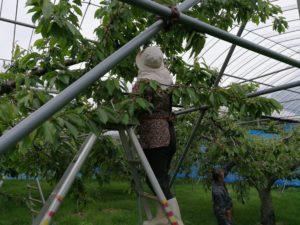 さくらんぼの摘果作業