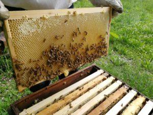 巣枠にびっしりとハチミツ