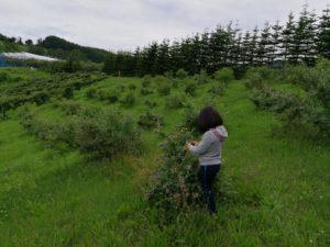 ブルーベリーの写真を撮る子供