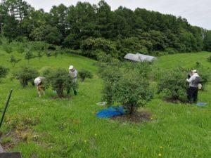 ハスカップの収穫作業