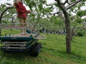 桃の摘果作業の様子2