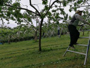 桃の摘果作業の様子