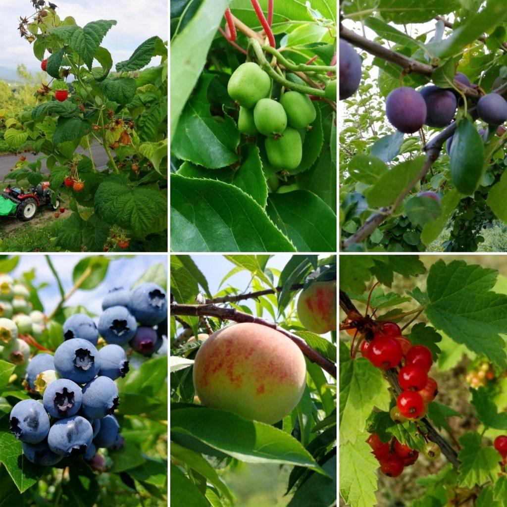 8月1日の園地の果物