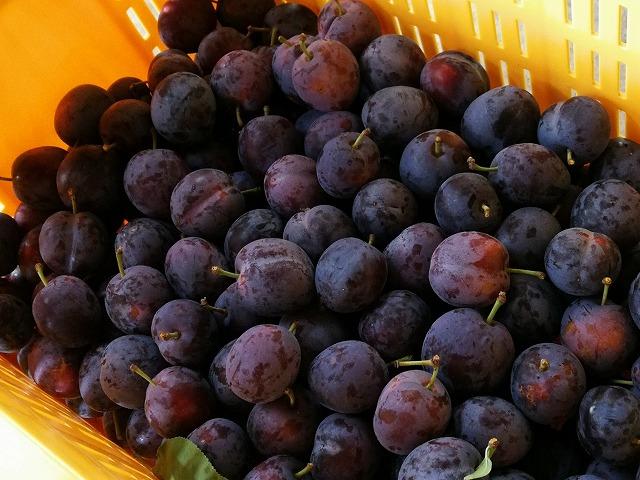 収穫したプルーン