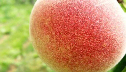 知る人ぞ知る北海道余市の桃!間もなく収穫となります。