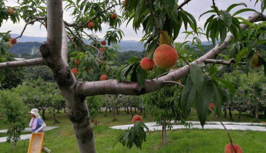 桃の収穫が本格的に!順次ご発送しております。
