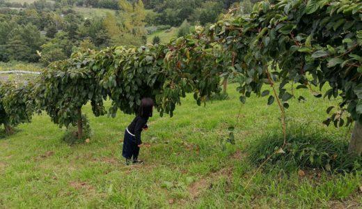 今年もサルナシの実、コクワが収穫となりました。