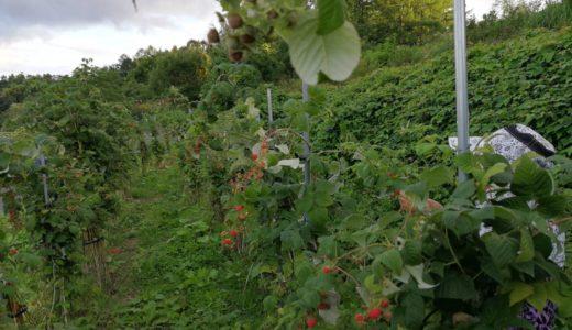 余市のラズベリー、二期目の収穫が少しずつ始まりました。