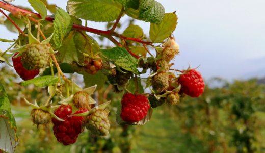 余市 砂川果樹園の果物は残すところラズベリー(木苺)のみ!ギフトのお知らせも!