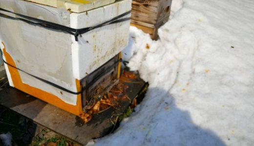 北海道の冬を乗り越えミツバチ始動!さくらんぼの剪定作業も進行中