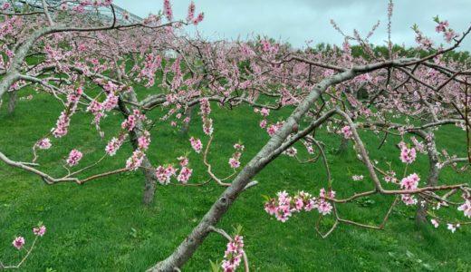 毎年の作業ながらメディアに取り上げられた、桃の摘花作業