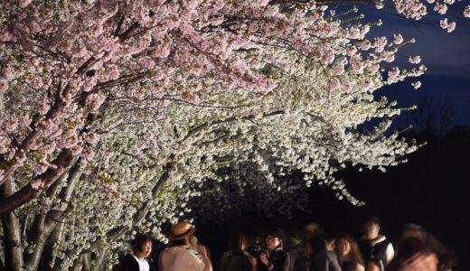余市の桜が満開になるころ、僕たちはリンゴとハチミツを・・・