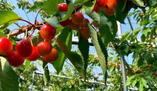 来週にも収穫開始となる、さくらんぼ!味見するのは…