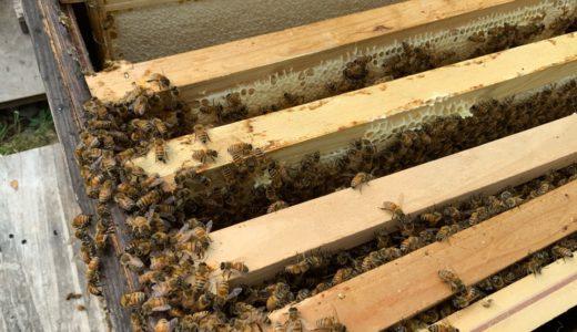 君は、ハチの分蜂を見る