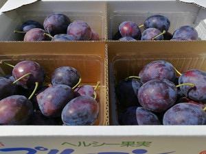 プルーンの収穫も中盤に!只今収穫中のプチュールと予約受付中のローブド