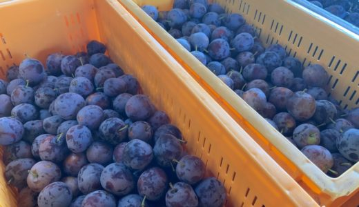 早生ものプルーン、アーリーリバーとサンタス収穫