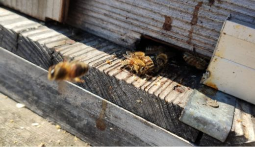 北海道の厳しい冬を乗り越えて、天空のミツバチがいよいよ始動!